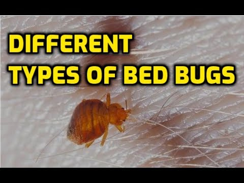 Different Types Of Bed Bugs (America's Most Common Species)