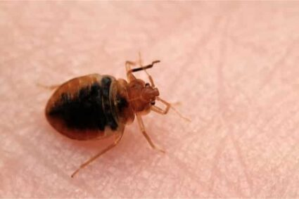How to Tell if You Have Bed Bugs Early