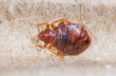 Natural Remedies to Get Rid of Bed Bugs Permanently