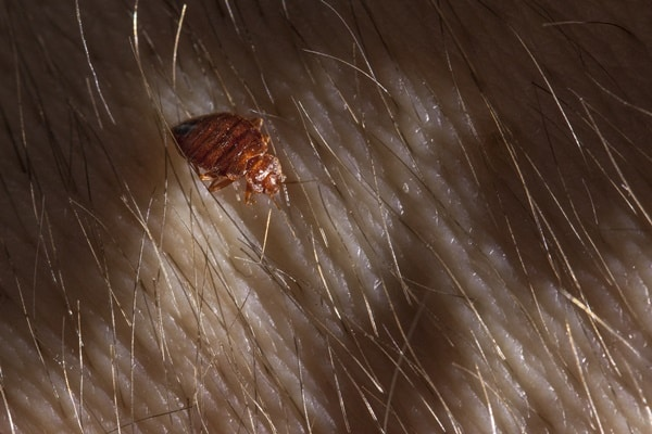 will shampooing the carpet kill bed bugs?