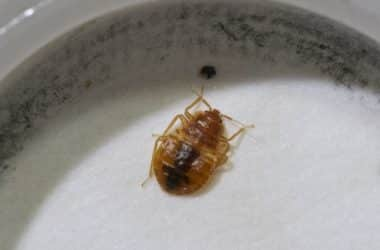how do I check for bed bugs at home?
