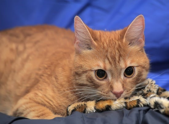 can bed bugs be transferred by cats?