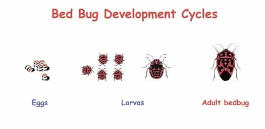 bed bug life cycle timeline