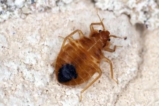 do bed bugs eat dead skin?