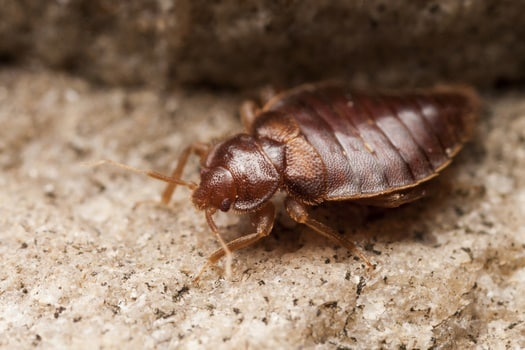 what do bed bugs eat and drink?