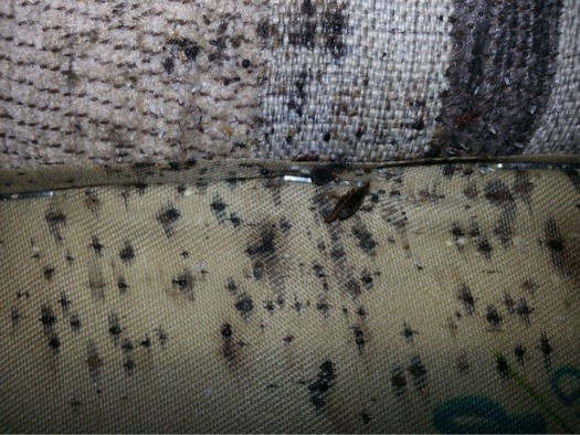 What Does Bed Bug Poop Look Like Bed Bugs Insider