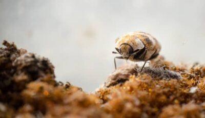 bed bugs vs. carpet beetles