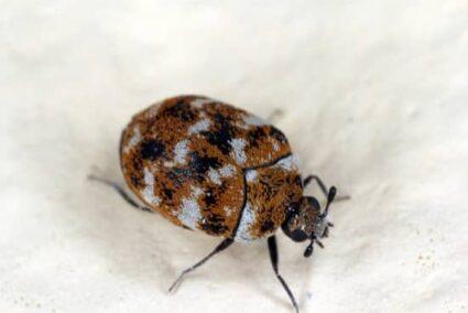 do carpet beetles live in beds?