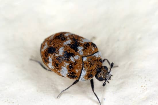 do carpet beetles live in beds?