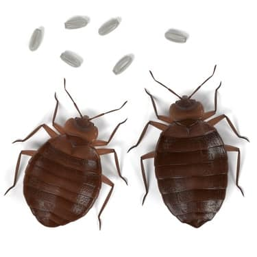 How quickly do bed bugs reproduce?