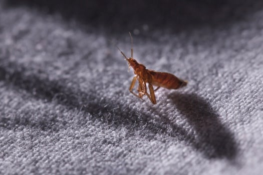 What Do Bed Bugs Smell Like? — Bed Bugs Insider