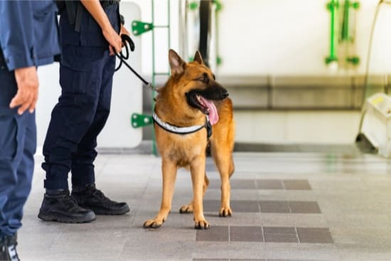are bed bug sniffing dogs accurate?