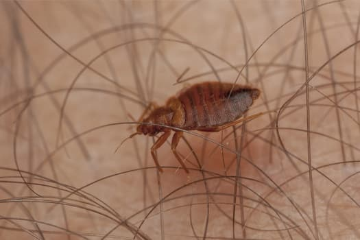 how big are bed bugs when they start biting?