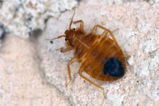 can bed bug bites make you nauseous?