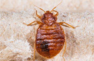 do bed bugs go dormant in winter?