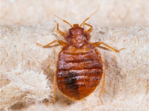 do bed bugs go dormant in winter?