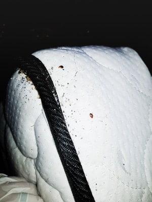 what do bed bug eggs feel like?