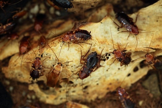 bed bugs vs. cockroaches