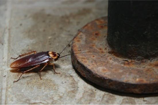 Are Bed Bugs or Cockroaches Worse? — Bed Bugs Insider