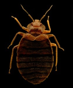 does permethrin keep bed bugs away?