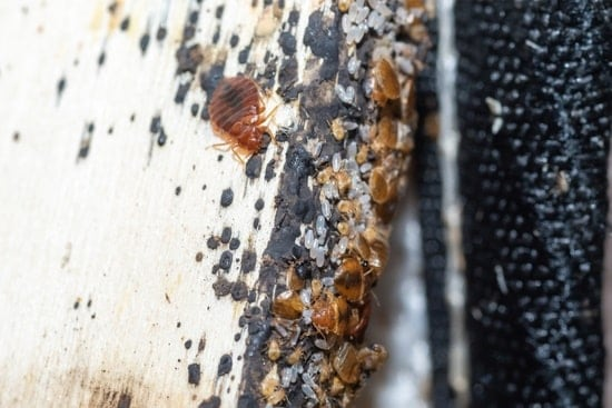 how long can bed bugs survive without oxygen?