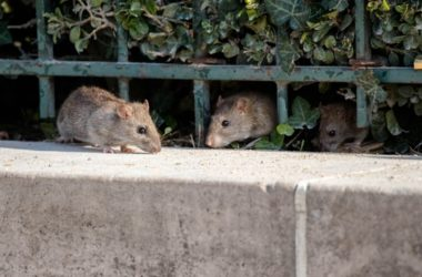 Do Mice and Rats Bring in Bed Bugs?