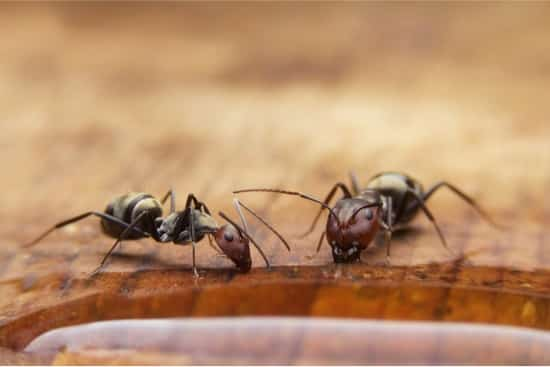 do ants eat bed bugs?