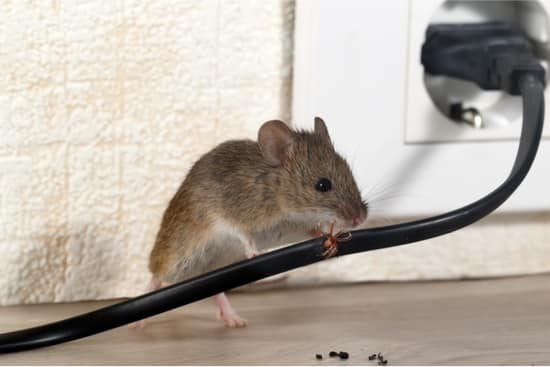do mice cause bed bugs?