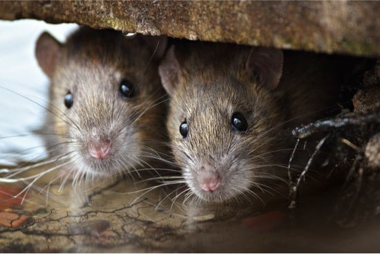 do rats cause bed bugs?
