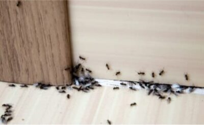 using ants to kill bed bugs