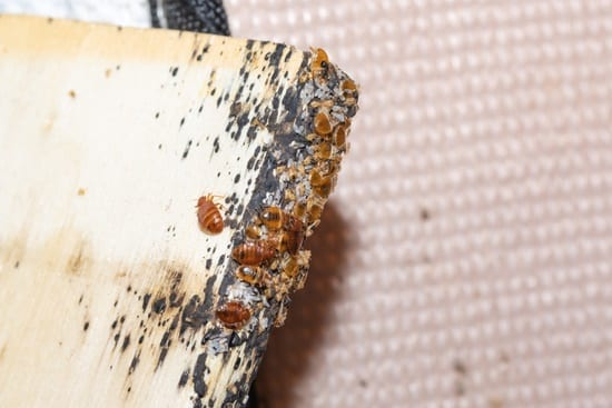what color are baby bed bugs?