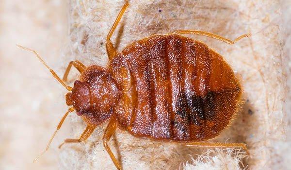 Bed bug oxygen