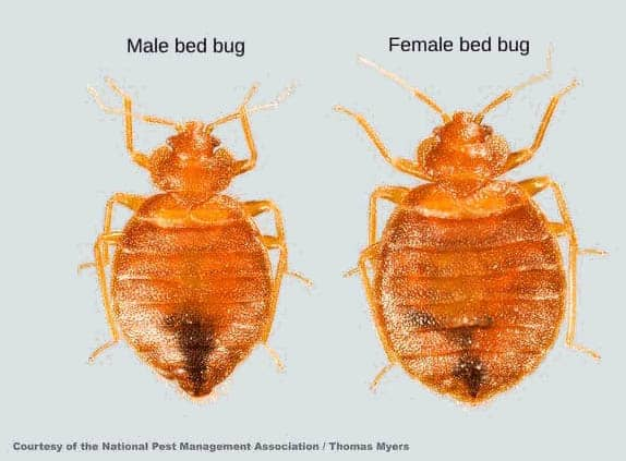 Difference between a male and a female bed bug